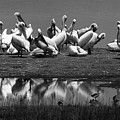 Great White Pelicans, Lake Nakuru, Kenya by Aidan Moran