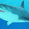 Great White Shark Close-up by Corey Ford