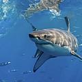 Great White Shark by Thomas Pollart