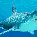 Great White Shark Undersea by Corey Ford