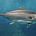Greater Amberjack by Stavros Markopoulos