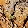Greater Earless Lizard by Allen Sheffield
