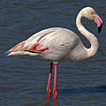 Greater Flamingo by GFC Collection
