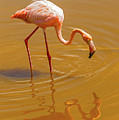 Greater Flamingo In The Water At Galapagos Islands by Marek Poplawski