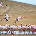 Greater Flamingos Phoenicopterus by Panoramic Images