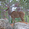 Greater Kudu Female - Rdw002756 by Dean Wittle
