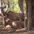 Greater Kudu Females - Rdw001502 by Dean Wittle