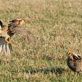 Greater Prairie Chicken Males 2 by David Drew