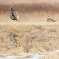 Greater Prairie Chickens 2018-4 by Thomas Young