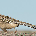 Greater Roadrunner On The Hunt by Dennis Hammer