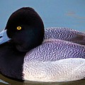 Greater Scaup  by Cynthia Guinn