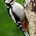 Greater Spotted Woodpecker by Martyn Arnold