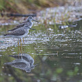 Greater Yellowlegs Reflected by Eva Lechner