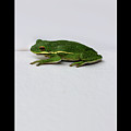 Gree Tree Frog 2016 With Black Border by Karen Adams