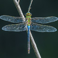 Green And Blue Dragonfly by Sue Matsunaga
