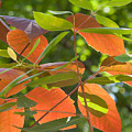 Green And Orange Leaves by Robert VanDerWal