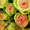 Green And Pink Rose Bouquet by Jessica Manelis