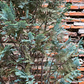 Green And Red - Cypress Branches Over Antique Roman Brick Wall by Georgia Mizuleva