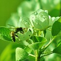 Green Apple Bee by Barbara St Jean