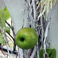 Green Apple by Munir Alawi