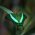 Green-banded Peacock- 2 by Calazone's Flics