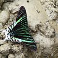 Green-banded Urania Moth Urania Leilus by James Brunker