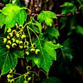 Green Berries by Angus Hooper Iii