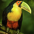 Green-billed Toucan Perched On Branch In Jungle by Ndp