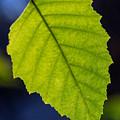 Green Beech Leaf 1 by Douglas Barnett
