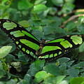 Green Butterfly by Louise Magno