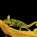 Green Chameleon by Les Palenik