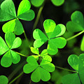 Green Clover by Christina Rollo