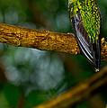 Green-crowned Brilliant Hummingbird by Dant� Fenolio