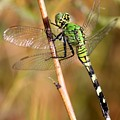 Green Dragonfly Closeup by Carol Groenen
