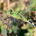 Green Dragonfly Macro by Carol Groenen
