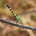 Green Dragonfly On Twig by Carol Groenen
