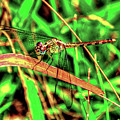 Green Dragonfly by Randy Aveille