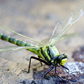 Green Dragonfly by Tony Beaver