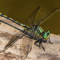 Green Dragonfly by William Krumpelman