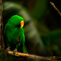 Green Eclectus Parrot Male by Peter v Quenter