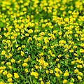 Green Field Of Yellow Flowers 2 1 by Totto Ponce
