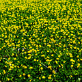 Green Field Of Yellow Flowers 3 by Totto Ponce