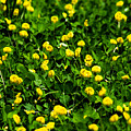 Green Field Of Yellow Flowers 4 by Totto Ponce