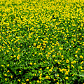 Green Field Of Yellow Flowers by Totto Ponce