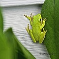 Green Frog by Mark Holden