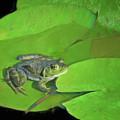 Green Frog by Nikolyn McDonald