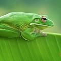 Green Frog Whitelips by Riza Arif Pratama