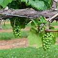 Green Grapes by Timothy Markley