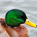 Green Head by Todd Hostetter