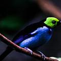 Green Headed Bird by Douglas Barnett
